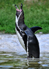 Humboldt Pinguin 4