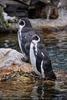 Humboldt Pinguine 01