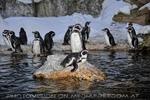 Humboldt Pinguine 03