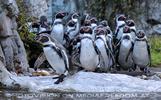 Humboldt Pinguine 2