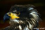 junger weisskopfseeadler
