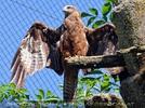 Kleiner Adler 01