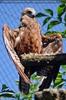 Kleiner Adler 02
