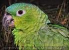 Mehlig Papagei