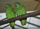Papagei Pärchen