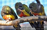 Papagei Trio