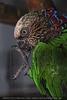 Papageien Maniküre