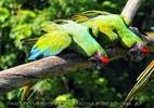 Papageien Schwarm 03