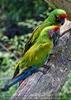 Papageien Schwarm 07