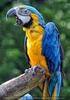 Papageien Schwarm 08