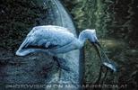 Pelikan 1