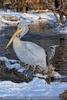 Pelikan und Reiher