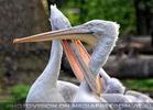 Pelikane 02
