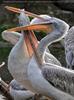 Pelikane 03