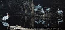 Pelikane am Abend 1