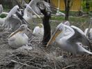 Pelikane mit Babys
