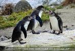 Pinguin geschnatter
