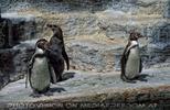 Pinguin Trio