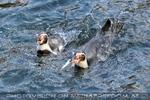 Pinguine 01