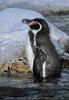 Pinguine 7