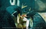 Pinguine am Abend 3