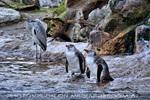 Reiher und Humboldt Pinguine 1