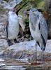 Reiher und Humboldt Pinguine 2