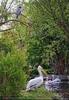 Reiher mit Pelikane