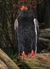 Rotschnabel Adler