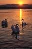 Sundown swans