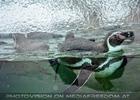 Schwimmender Humboldpinguin