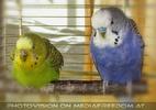 Budgies - Speedy und Burli
