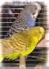 Valentine Birds Slowly Burli and Speedy