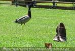 Stadtpark Ente