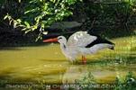 Storch im Teich
