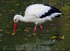 Storch im Wasser