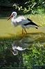 Storch Spiegelung