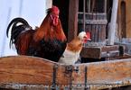 Tiroler Hühner Hof