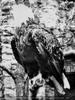 Weisskopf Seeadler
