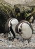 Zwei Humboldt Pinguine