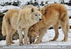 Polarwölfe 7