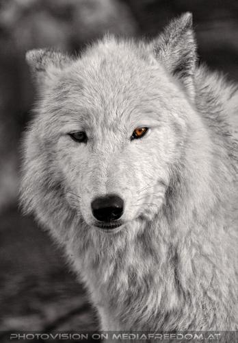 Polarwölfe 5