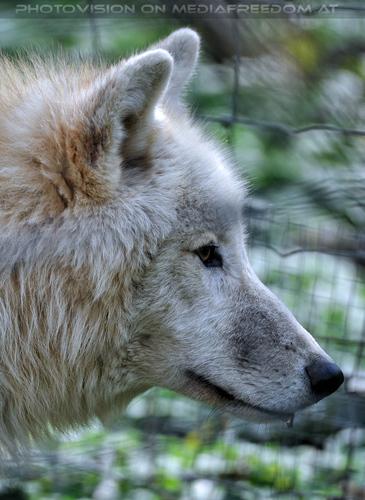 Polarwolf 1