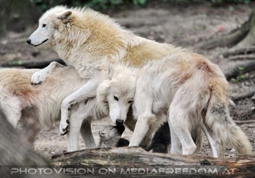 Rudel mit Babys