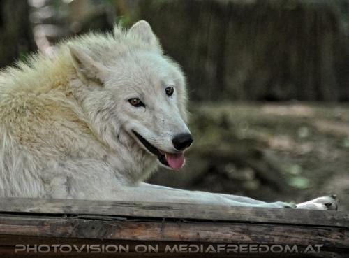 Mit den Polarwolf Welpen 19