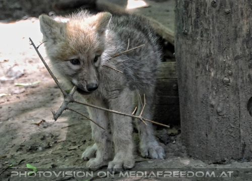 Mit den Polarwolf Welpen 22