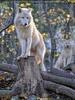 Arktische Wölfe 01