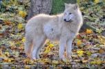 Arktische Wölfe 04