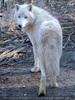 Arktische Wölfe 1