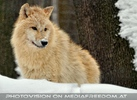 Arktischer Wolf im Schnee